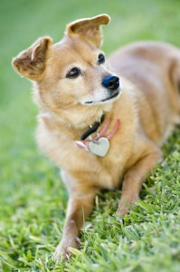 Chihuahua Mischling